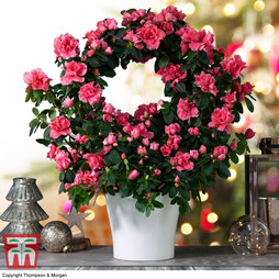 Azalea Hoop 'Red' (House Plant) - Gift