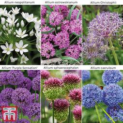 Allium 'Bumper Pack'