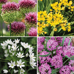 Allium Collection 100 & 200 Bulb Mixes