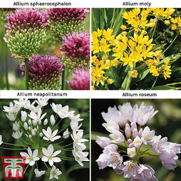 Allium 140 Bulb Collection