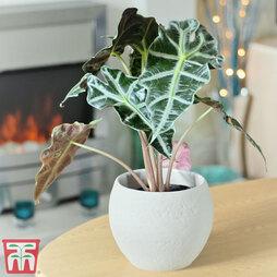 Alocasia x amazonica (House Plant)