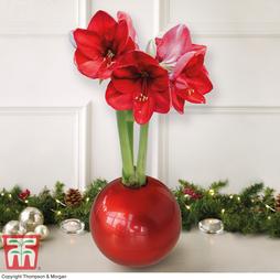 Amaryllis In Globe - Gift