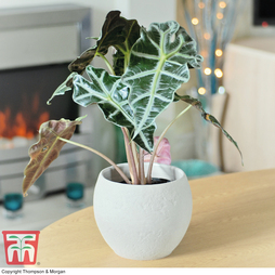 Alocasia x amazonica (House Plant) - Gift