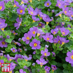 Bacopa 'Scopia Great Blue Regal'