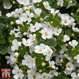 Bacopa 'Scopia White'