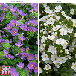 Bacopa 'Scopia Collection'