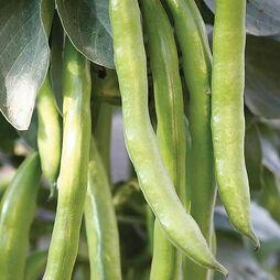 Broad Bean 'Masterpiece Green Longpod'
