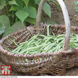 Dwarf Bean 'Delinel'