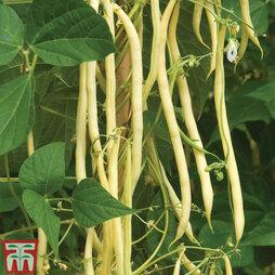 Climbing Bean 'Monte Gusto'