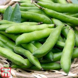 Broad Bean 'Statissa'