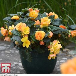 Begonia x tuberhybrida 'Patio Apricot Shades Improved' F1 Hybrid (Pre-Planted)