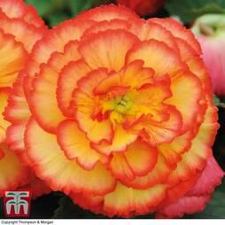 Begonia x tuberhybrida 'Giant Picotee Sunburst'