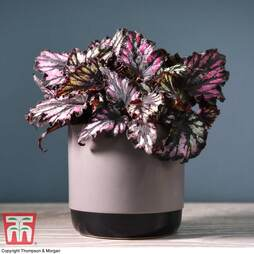Begonia rex 'Helen Teupel' (House plant)