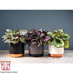 Begonia Rex Trio - Gift