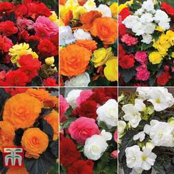 Nurseryman's Choice Begonia 'Non-Stop' Mix