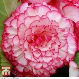 Begonia x tuberhybrida 'Giant Picotee Blush'