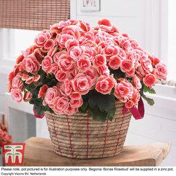 Begonia 'Borias Rosebud'