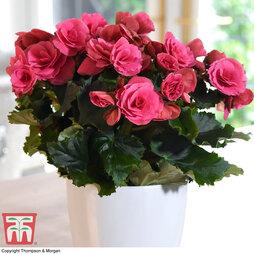 Begonia 'Berseba Rosebud'