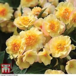 Begonia 'Buffey'