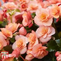 Begonia 'Esmé Peach'