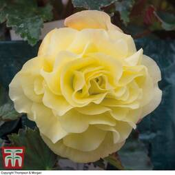 Begonia 'Fragrant Falls Improved™ - Lemon Delight''