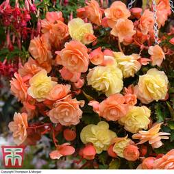 Begonia 'Fragrant Falls Improved™' Duo