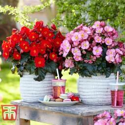 Begonia elatior 'Dreams Garden Maca' Duo