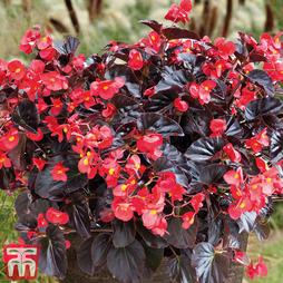 Begonia Viking™ XL 'Red on Chocolate'