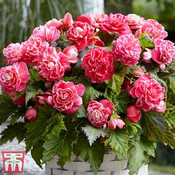 Begonia x tuberhybrida 'Camelia'