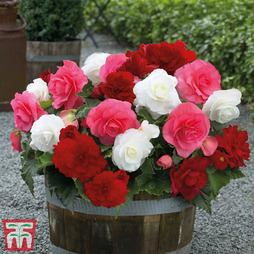 Begonia 'Non-Stop Berries & Cream'