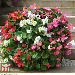 Begonia semperflorens 'Lotto Mixed'