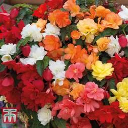 Begonia x tuberhybrida 'Illumination Mixed'
