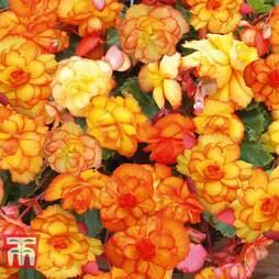 Begonia 'Cascading Fireball'