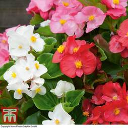 Begonia semperflorens 'Organdy Mixed' F1 Hybrid