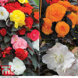 Begonia 'Non-Stop Trio' Collection
