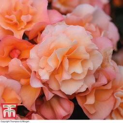 Begonia elata 'Solenia Apricot'