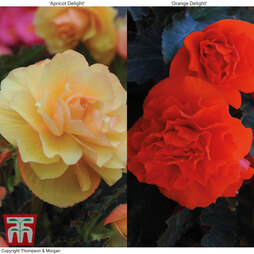 Begonia 'Fragrant Falls Improved'™ Collection