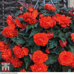 Begonia 'Fragrant Falls Orange Delight™'