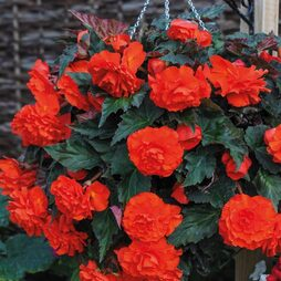 Begonia 'Fragrant Falls Orange™'