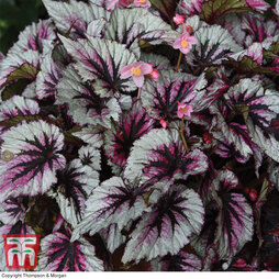 Begonia Hardy 'Evening Glow'