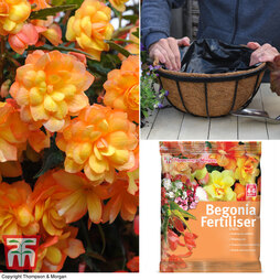 Begonia x tuberhybrida 'Apricot Shades Improved' F1 Hybrid Basket Collection