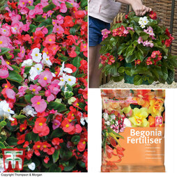 Begonia 'Organdy Mixed' F1 Hybrid Patio Bag Collection