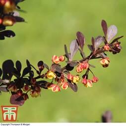 Berberis thunbergii f. atropurpurea 'Rose Glow'