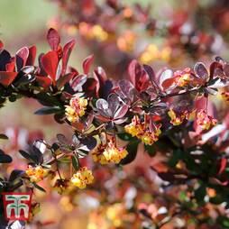 Berberis thunbergii f. atropurpurea 'Dart's Red Lady'