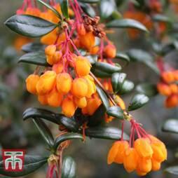 Berberis trigona 'Orange King'