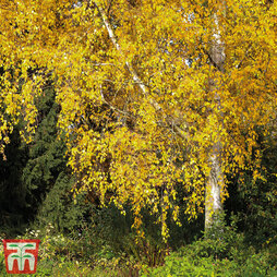Silver birch (Hedging)