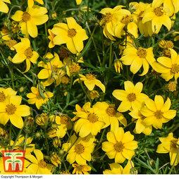 Bidens ferulifolia 'Golden Star'