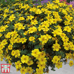 Bidens 'Yellow Port Royal'