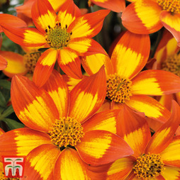 Bidens 'Hawaiian Flare Bicolour Star'