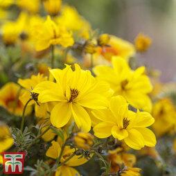 Bidens ferulifolia 'Gold Strike'